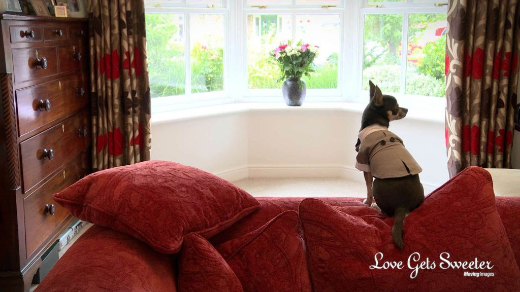 Pedro the chihuahua sits on a red sofa looking out the window in his wedding tux waiting for his humans to get married in preston