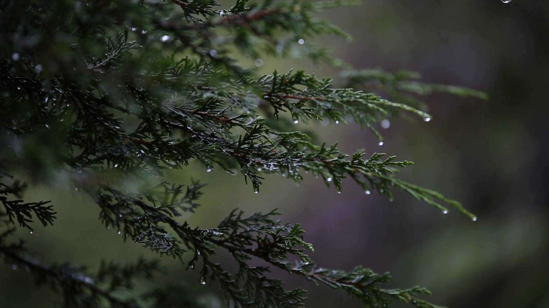 close up video still of rain drops dripping off a tree outside Moddershall Oaks