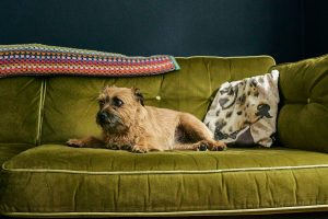 dog looks guilty on green sofa in family home